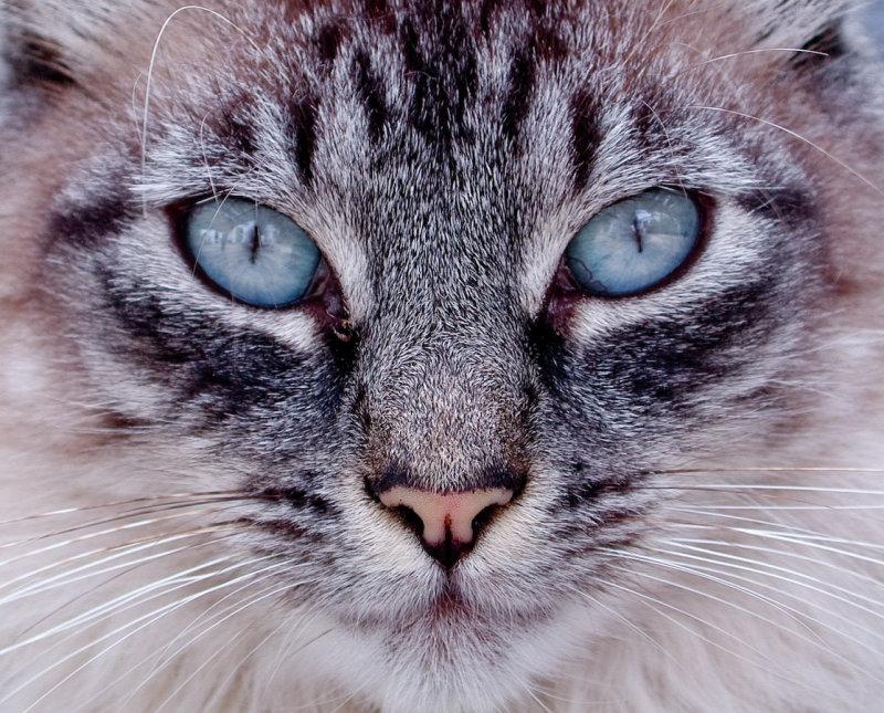 Pyreothroid/Permethrin-haltige Anti-Parasiten-Mittel bei Katzen